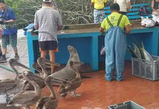 an open air fish market in the galapagos islands full of people and seals and pelicans and other wildlife
