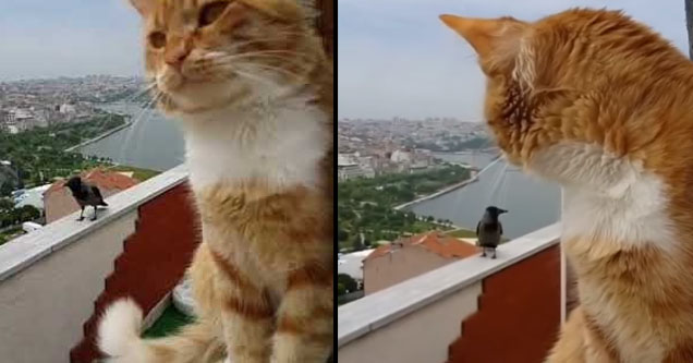 a cat looking back at a crow on a balcony