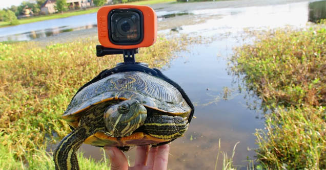 a turtle with a gopro strapped on its back