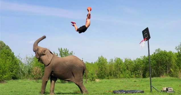 an elephant launching a dude in the air toward a hoop