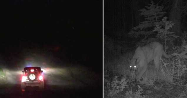 a jeep in the woods and a cougar with glowing eyes