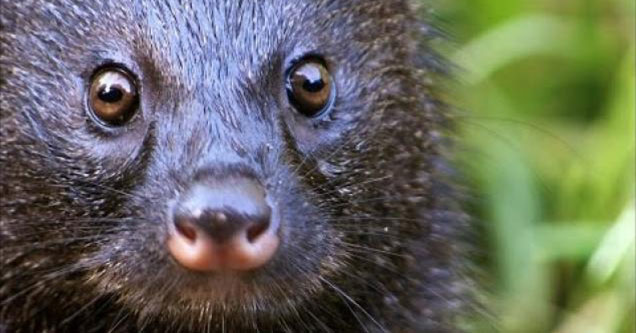 Mongoose looking into camera