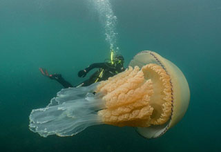 Massive barell jellyfish in the ocean next to a diver