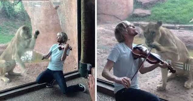 Violinist Kyle Dillingham annoys a hungry lion