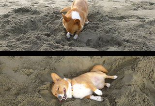 a corgi digging a hole and laying in it on the beach