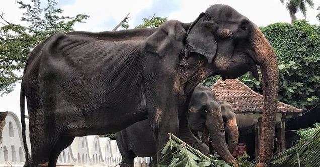 a very malnourished and skinny elephant