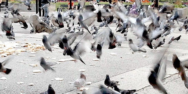 seagulls that ate laxatives flying around pooping all over people