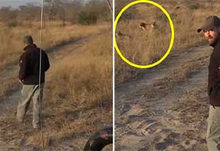 Safari expert accidentally walks up to a pride of lions