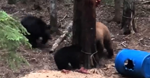 a brown bear attacking a black bear cub and mama bear charges it