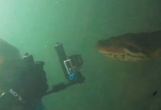 a huge anaconda with its tongue out and a diver filming it