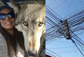 a woman with a wolf and a poorly put together power line