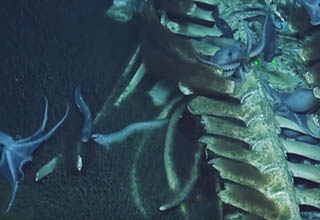 fish and octopus feeding at a whale fall