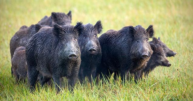 30 - 50 feral hogs destroyed $22,000 worth of cocaine in Italy.