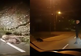 a beaver carrying a stick across the road and a dude following him