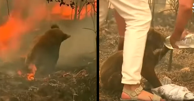 a koala bear in a forest fire being rescued by a woman
