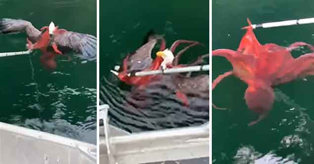 eagle regrets attacking octopus
