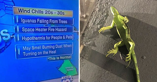 wind chills in florida causing iguanas to fall from trees because of the 40 degree weather  | Iguanas are falling from trees in Florida because it's getting cold