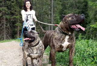 a woman walking two huge mastiffs