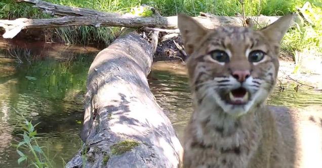a bobcat on a log bridge over a creek