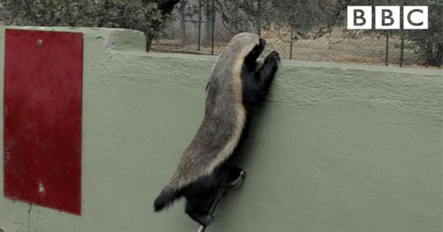 honey badger is a particularly good escape artist