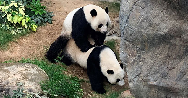 Pandas have sex at Ocean Park zoo for first time in ten years