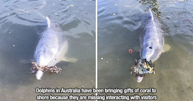 wholesome memes | Dolphin - Dolphins in Australia have been bringing gifts of coral to shore because they are missing interacting with visitors