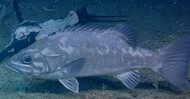 a huge fish that ate a shark | noaa scientist film a shark that is swallowed whole