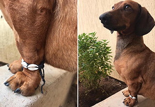 dank-memes-twitter-kalesalad-memes | dank memes - twitter - dachshund wearing bracelet - frida marcelo wants to show off his new bracelet