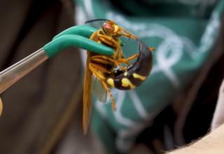 tweezers holding a cicada killer wasp