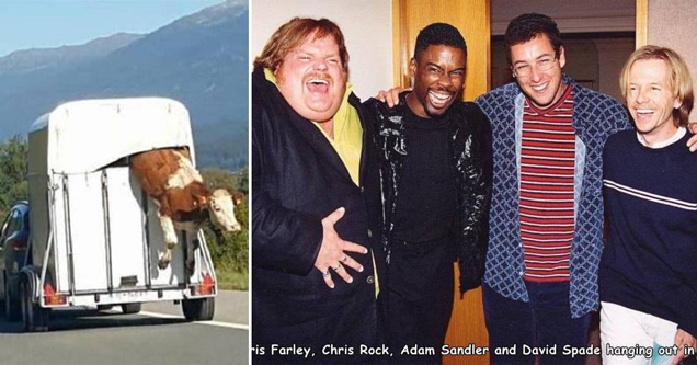 cow escaping trailer on the highway - chris farley chris rock adam sandler and david spade hanging out in the 90s