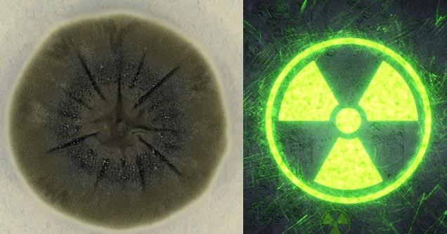 Грибок, растущий в Чернобыльской зоне отчуждения, может защитить космонавтов от радиации в космосе