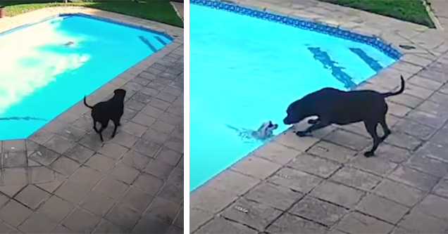 Photo of dog helping small dog out of pool