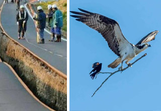 photo - road split in japan earthquake photo - eagle carrying starling on branch
