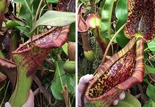 pitcher plant eats rodent