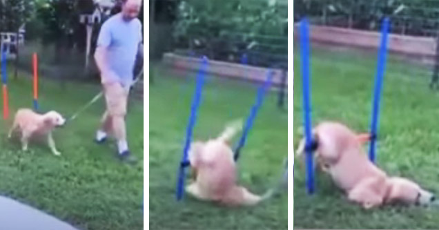 dog faceplanting obstacle course