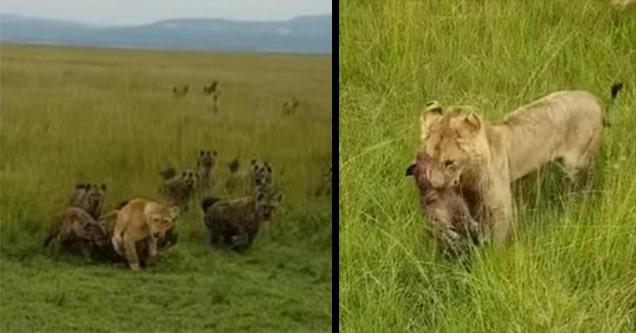 lions fight hyenas
