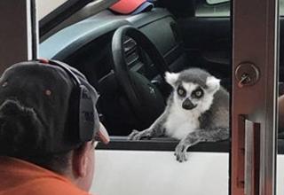 a lemur at the drive thru