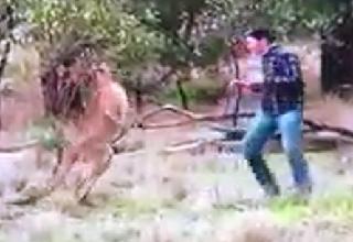 kangaroo punching to save dog