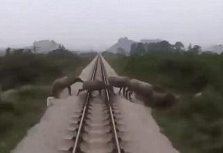 waterbuffalo crossing train tracks with a train barreling down on them