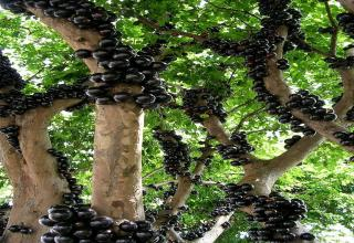 Bizarre tree's that grow around the world....