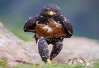 Bad Ass Hawk Inspires Photoshop Battle (45 photos)