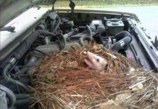 Your warm car lures some uninvited guests, some leave unwanted gifts.