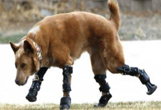 In the past, animals who lost limbs were out of luck. Now, thanks to technology and some very awesome humans, creatures both great and small are being given second chances thanks to prosthesis.