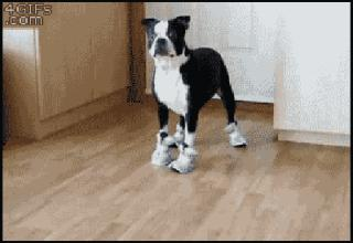 Check out this hilarious gif gallery of dogs wearing shoes. It's sure to make your day