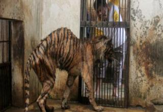 This nightmare is located in East Java, Indonesia. They've received complaints about its treatment to animals by several activist groups.The animals don't have enough food, NO medical care, and hardly any room to move. Sign the petition to get this hell hole CLOSED DOWN. http://www.change.org/petitions/dr-susilo-bambang-yudhoyono-close-surabaya-zoo