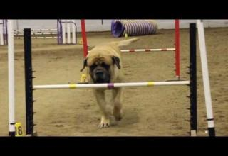 a large mastiff running through an agility course