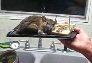 Huge Rat Caught In Trap Video Ebaum S World